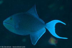 BD-130711-Maldives-0170-Odonus-niger-(Rüppell.-1836)-[Red-toothed-triggerfish.-Blå-tryckare].jpg